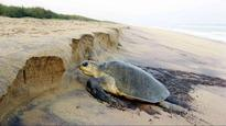 Odisha: 31 fishermen held for unlawful fishing activity in Olive Ridley turtle nesting zone
