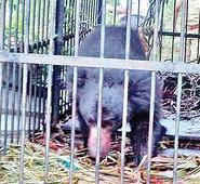 Sloth bear strays into private farm, trapped