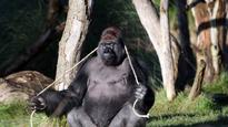Gorilla Kumbuka 'guzzled five litres of squash' during London Zoo escape