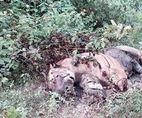 Madhya Pradesh loses 23rd tiger to poachers this year: Paws chopped for 'witchcraft'