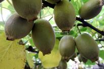 5 Kiwifruit contractor fined for breaches