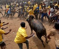 'Jallikattu', an ancient bull-taming festival, divides India
