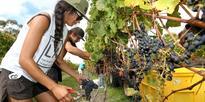 Winemakers braced for top vintage