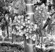 Soon, UAVs to spray pesticides in arecanut plantations