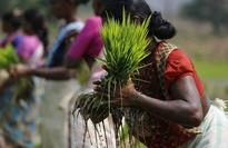 Asia Rice - India down as overseas demand wanes; Vietnam up on thin supply