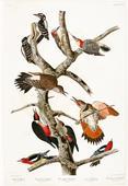 Library of Parliament digitized John James Audubon bird masterpiece