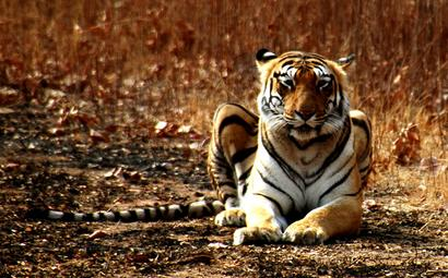 Kanha tigress found dead in suspected territorial fight