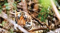 Save the tigers: Post electrocution deaths, State forest department to promote solar fencing in Maharashtra