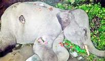 Injured elephant calf dies at Udalguri