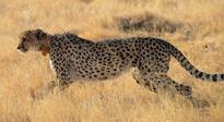 While speed of cheetahs is amazing, scientists in awe of their acceleration, power, agility