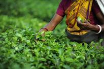 Darjeeling growers seek halt to Nepal tea imports