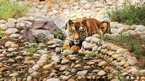 Away for 2 yrs, MP's tiger returns to public eye at zoo