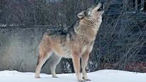 Wolf in Saxony to be shot as possible threat to humans