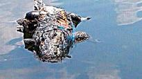 Illegal fishing in Cauvery river endangers Marsh Crocodile