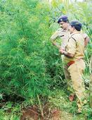 Ganja cultivation in private plantation: Owner arrested