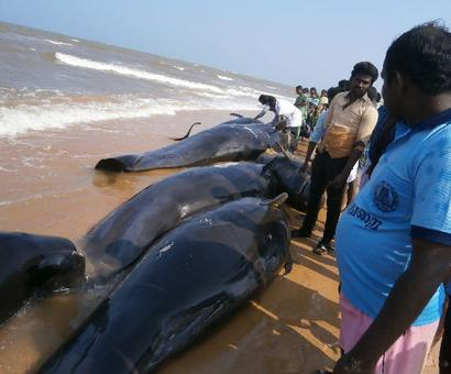 'An impending quake caused whale beaching in TN'