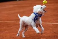 Shelter Dogs Steal The Show As 'Ball Boys' At Brazil Tennis Open