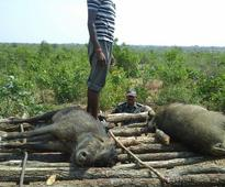 Shocking! Maharashtra forest department culls 300 wild boars, nil gais