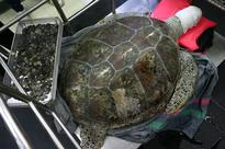 Sea Turtle Named 'Bank' On The Mend After Swallowing 915 Coins