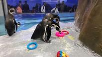 In Pictures: Adorable Humboldt penguins at Byculla Zoo swim and play with each other