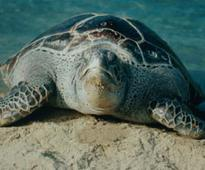 Maharashtra forest department announces Rs 5,000 reward for information on sea turtle eggs