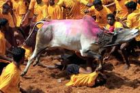 Jallikattu bill passed by Assembly, but who will take blame for human deaths?