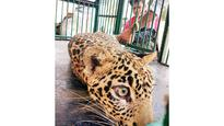 Rescued 10-mth-old leopard cub could be caged forever