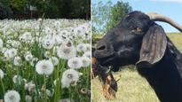 Calgary eyes expanded use of goats to control dandelions after $775K in extra mowing fails