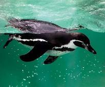 From Mumbai to NY, activists say don't bring penguins to Byculla Zoo