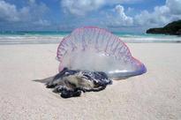 Stinging creatures lead to Phuket swimming bans