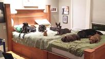 New York craftsman creates giant bed for couple and their 8 dogs