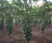 Spain: Project for papaya cultivation in greenhouses
