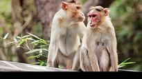 Himachal Pradesh government urges Centre to declare monkeys 'vermin' for 1 more year