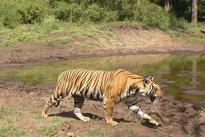 Royal Bengal Tiger count in Sunderbans is 103