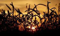 IGC raises 2016/17 world wheat, corn crop forecasts