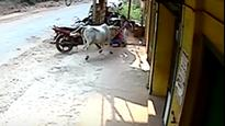 Karnataka: 8-year-old girl puts up a brave fight to rescue her brother from raging cow; video goes viral