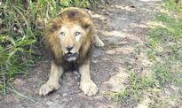 Neyyar Lion Safari Park loses its last male lion