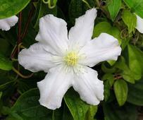 Clematis, Kentlands Flowers