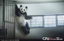 Giant pandas enjoy cooling air in Changsha