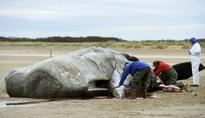 Sixth whale dies on British beach