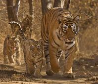 India has 2,500 tigers, global population is 3,890: Minister