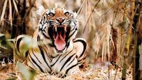 No tiger reserve status for 2 new wildlife sanctuaries in Maharashtra