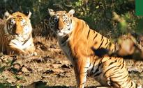 Nothing special about STPF for Similipal Tiger Reserve