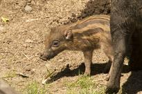 Highly endangered Visayan warty pig baby born at the Oregon Zoo