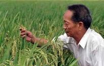 Chinese hybrid rice produces record-breaking yield