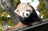 Wildlife park welcomes red panda