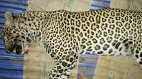 Mumbai: Leopard dies after being knocked down by speeding vehicle at Vasai
