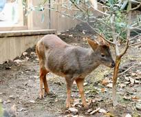 World's smallest deer makes debut at Saitama zoo