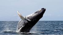 Whales and dolphins have human-like 'cultures': Study