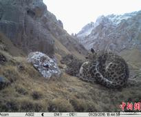 Mating snow leopards photographed in NW China
